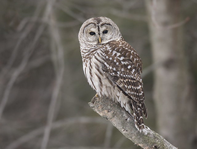 Barred Owl, Canon EOS 5D MARK IV, Canon EF 800mm f/5.6L IS