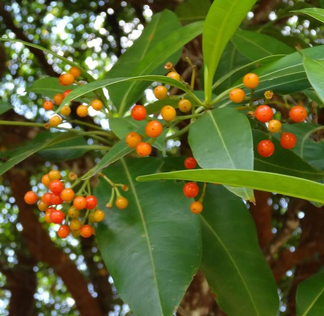 Fagraea fragrans fruit, Sony DSC-HX20V