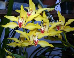 Cymbidium lowianum 'James Drysdale' orchid species