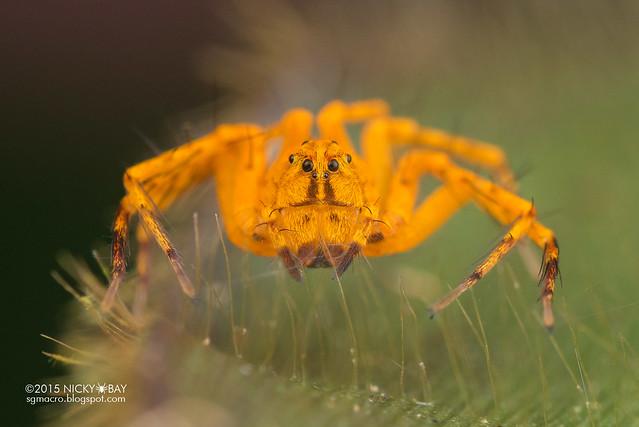 Lynx spider (Hamataliwa sp.) - DSC_4377
