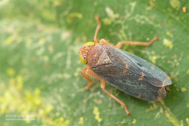 Leafhopper (Cicadellidae) - DSC_5506