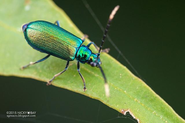Leaf beetle (Chrysomelidae) - DSC_4966