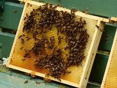De bijen weten het raam wel te vinden!