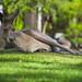Kangaroo by Roumelio