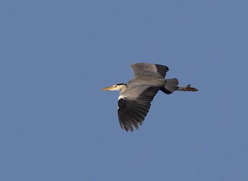 Grey Heron   (Ardea cinera).........(1/32)