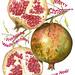 Pomegranate. by ciuccio51