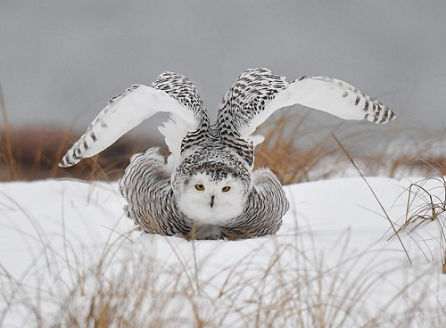 Snowy Owl Stretching its Wings