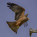 Yellow-billed Kite - Milvus aegyptius by lyn.f