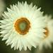 Helichrysum by Eiona R.