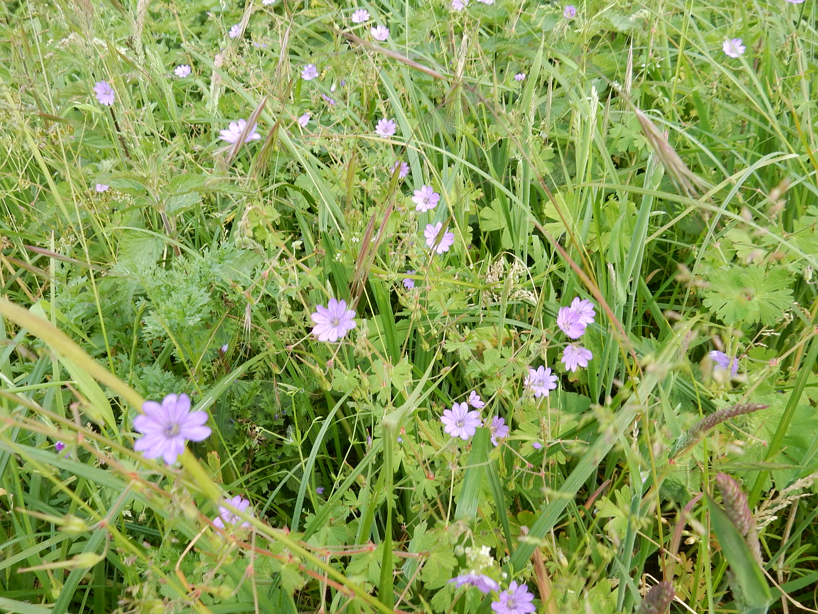 Small cranesbill Milford to Godalming