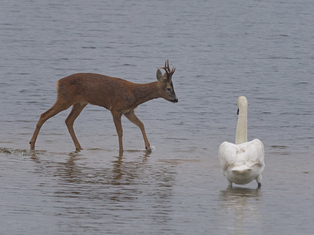 Roebuck and Mute swan