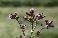 Cirse (Cirsum sp, asteracée) - Photo of Champdieu