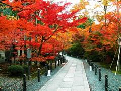 lá-phong-đỏ-Momiji1