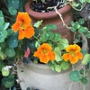 #nasturtiums in #Oakville in#August