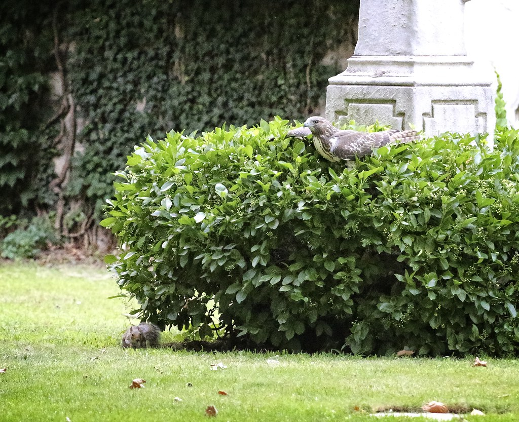 Fledgling playing with a squirrel in the Marble Cemetery