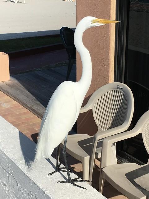 Meet Oscar, the Great Egret ......