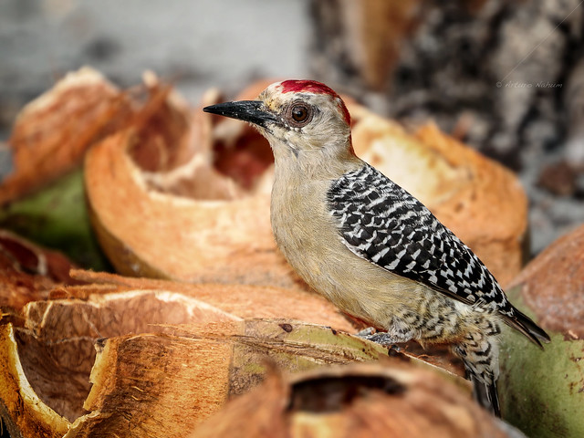 Red-crowned Woodpecker (Melanerpes rubricapillus)