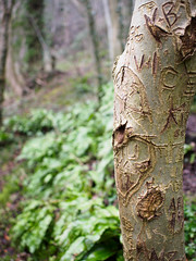 Tree along the Lovers' Walks, Matlock Bath