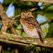 Cuban Pygmy Owl (Glaucidium siju) by Hoppy1951