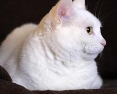 exotic shorthair(0.0), british shorthair(0.0), nose(1.0), animal(1.0), turkish van(1.0), white(1.0), small to medium-sized cats(1.0), pet(1.0), mammal(1.0), burmilla(1.0), turkish angora(1.0), cat(1.0), whiskers(1.0), manx(1.0), domestic short-haired cat(1.0),