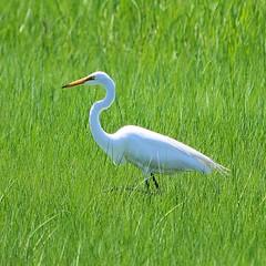 animal, grass, wing, green, fauna, great egret, heron, pelecaniformes, beak, bird, wildlife,