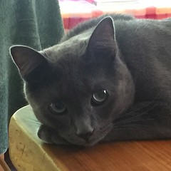 nose, animal, small to medium-sized cats, pet, mammal, black cat, chartreux, bombay, cat, korat, whiskers, russian blue, domestic short-haired cat,