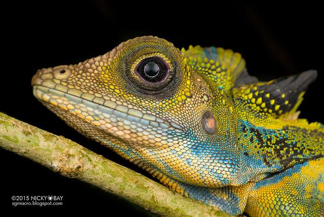 Great anglehead lizard (Gonocephalus grandis) - DSC_5743