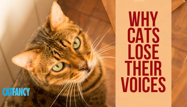 why-cats-lose-voices