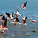 Improved: Greater Flamingos - [ Strandfontein Water Works, South Africa ] by tinyfishy's World Birds-In-Flight