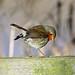Robin by NickWakeling