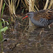 Water Rail by steve whiteley