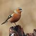 Male Chaffinch by jennyturner87