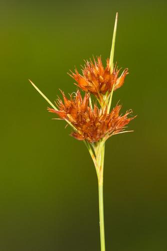 native monocots cyperaceae fascicledbeaksedge rhynchosporafascicularis