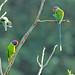 Plum Headed Parakeet by karthik Nature photography