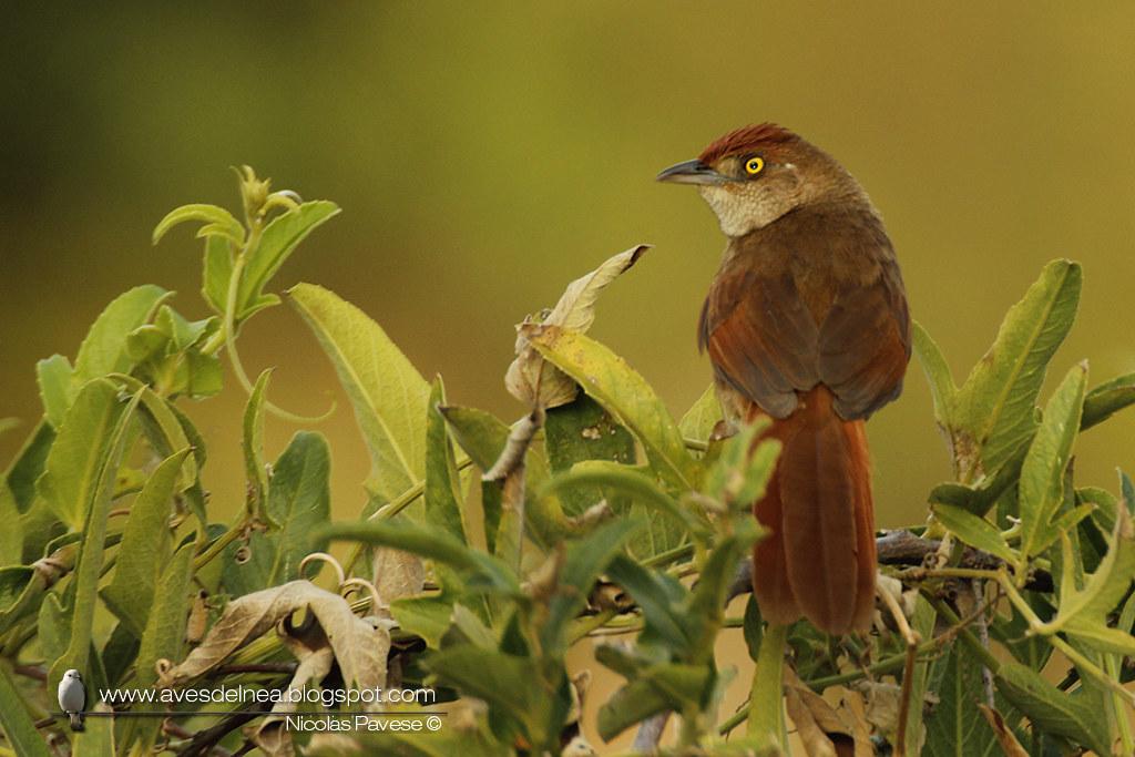 _MG_2052Espinero grande (Greater Thornbird) Phacellodomus ruber