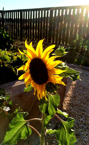 Sunflower, golden hour