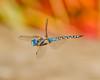 Hovering Blue Dasher Dragon Fly. by Omygodtom