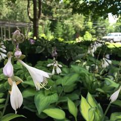 Hosta blooms.