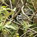 IMG_8299  Blackpoll Warbler