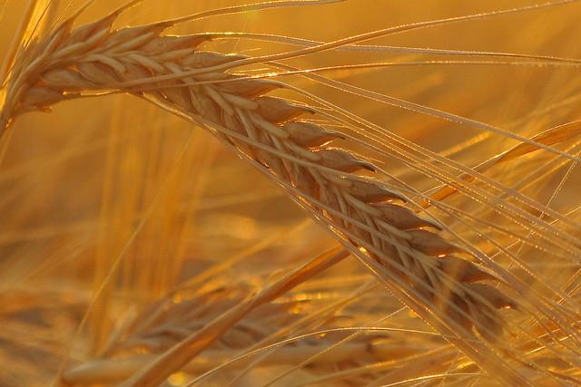 Golden Barley (Hordeum vulgare L.)