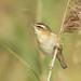 Sedge Warbler - Acrocephalus schoenobaenus by Gary Faulkner's wildlife photography