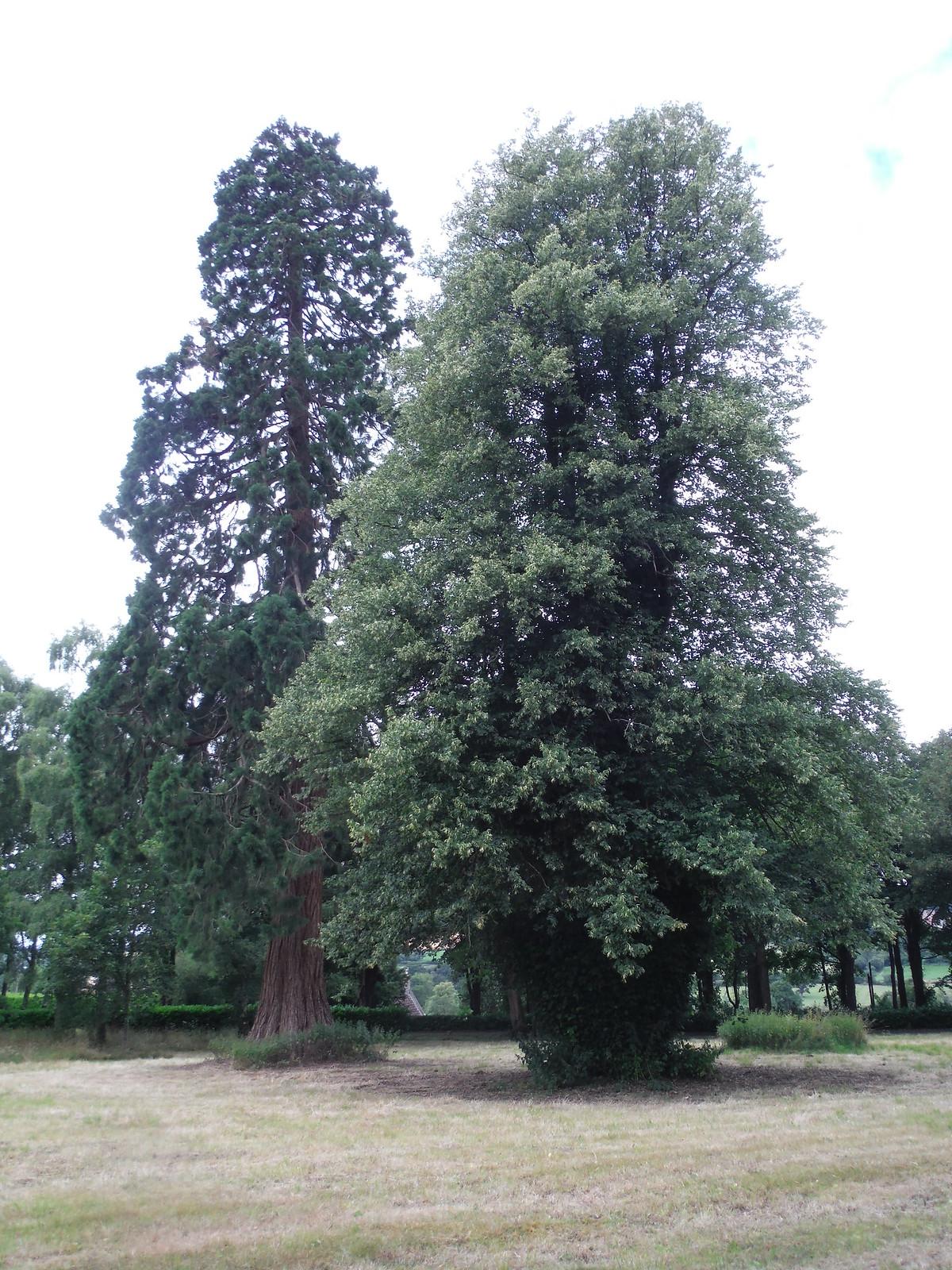 Trees in Wardour Park SWC Walk 252 Tisbury Circular via Donhead St. Andrew