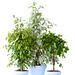 Der Ficus Benjamin als Pflanze des Monats 2017