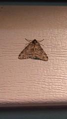 Small Phigalia Moth (Phigalia strigataria), Solomons Quad, Solomons, Calvert County, MD, 2017_0220