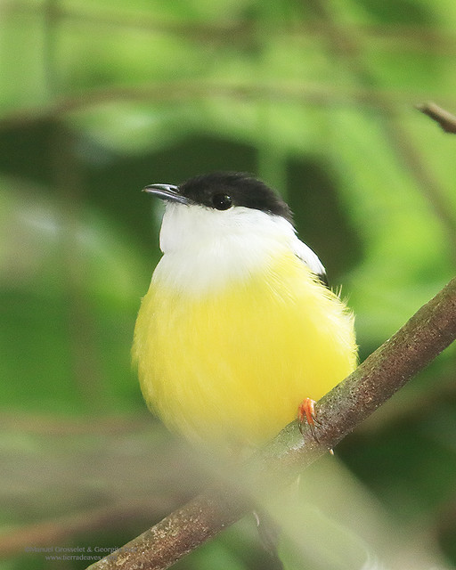 White-collared-Manakin5329