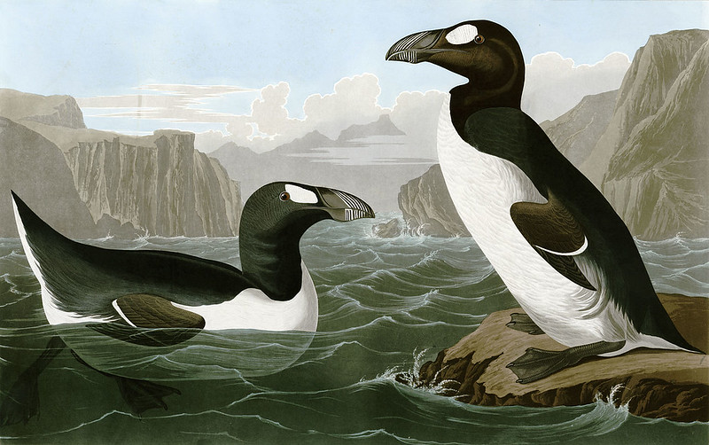 Great auks by John James Audubon, from The Birds of America