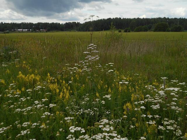 Niittykasveja 20.7.2015 B Espoon Karakallion ja Leppävaaran välinen peltoalue