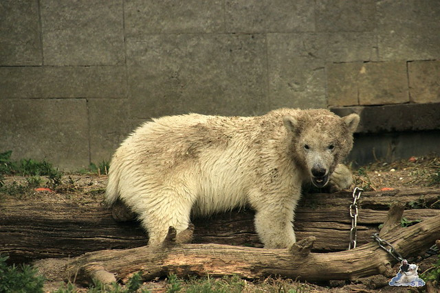 Eisbär Fiete im Zoo Rostock 12.07.2015 017