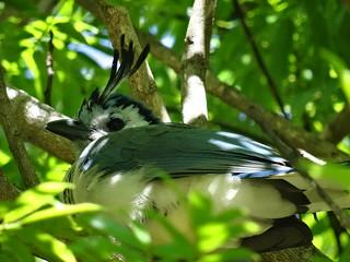 Image of Parque National Rincon de la Vieja. naturaleza bird nature costarica ave puravida guanacaste calocittaformosa rincondelaviejanationalpark parquenacionalrincóndelavieja urracacopetona