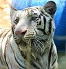 Saber by International Exotic Animal Sanctuary